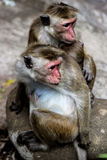 猴子二 图库摄影