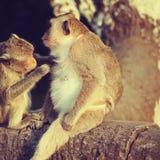 猴子修饰 免版税图库摄影