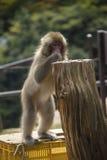 猴子公园,京都 图库摄影