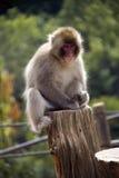 猴子公园,京都 免版税库存图片