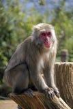 猴子公园,京都 库存照片
