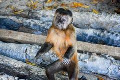猴子凝视2 库存图片