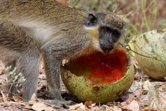 猴子午餐 库存图片