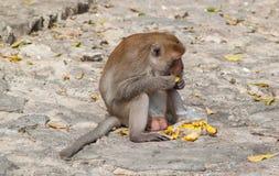 猴子吃 免版税图库摄影