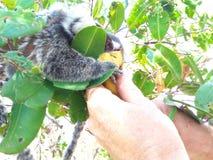猴子吃 库存图片