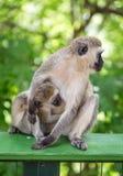 猴子吮牛奶它的小是母亲 免版税库存图片