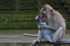 猴子和一个被窃取的瓶 免版税库存照片