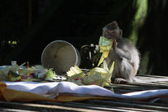 猴子和奉献物 免版税图库摄影