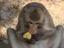 猴子和新鲜的玉米 免版税库存图片
