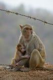 猴子和婴孩在Mt Popa,缅甸附近 库存图片