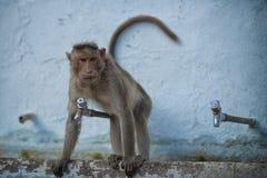 猴子在印度 免版税库存照片
