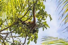 猴子在哥斯达黎加的密林 库存照片
