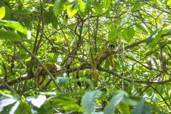 猴子在哥斯达黎加的密林 库存图片
