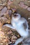 猴子在地面上说谎 库存照片