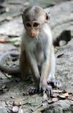 猴子在斯里兰卡 图库摄影