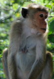 猴子在斯里兰卡 免版税库存照片