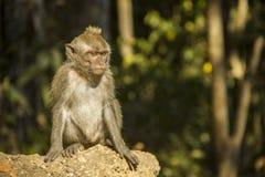 猴子在森林里 免版税图库摄影