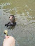 猴子在河 库存照片