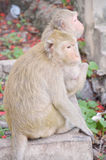 猴子在泰国 库存图片