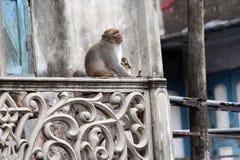 猴子在老达卡 库存照片