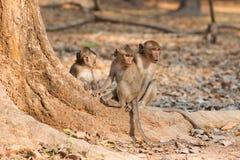 猴子在吴哥窟,柬埔寨附近寻找赠送品 免版税库存图片