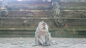 猴子在猴子森林里 图库摄影