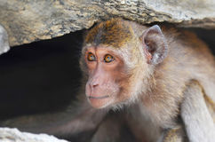 猴子在洞居住 免版税库存图片