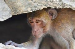 猴子在洞,一居住 免版税库存图片
