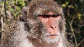 猴子在Ayubia 免版税图库摄影