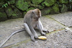 猴子在Ubud荐骨的猴子的森林(巴厘岛,印度尼西亚)里 库存图片