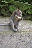 猴子在Ubud荐骨的猴子的森林(巴厘岛,印度尼西亚)里 免版税库存照片