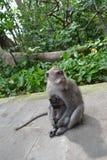 猴子在Ubud荐骨的猴子的森林(巴厘岛,印度尼西亚)里 免版税库存图片