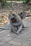 猴子在Ubud荐骨的猴子的森林(巴厘岛,印度尼西亚)里 图库摄影