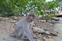 猴子在Ubud荐骨的猴子的森林(巴厘岛,印度尼西亚)里 库存照片