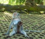 猴子在Ubud巴厘岛 免版税库存图片