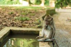 猴子在Ubud巴厘岛 免版税图库摄影