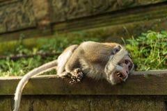 猴子在Ubud巴厘岛 免版税库存照片