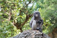 猴子坐岩石 免版税库存照片