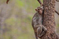猴子坐树, Khao树干亦不在北揽坡府 免版税图库摄影