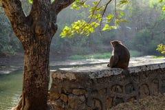 猴子坐除树以外的小墙壁 免版税图库摄影