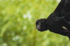 猴子垂悬的看对边 免版税库存图片