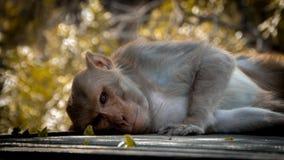猴子基于天 免版税库存照片