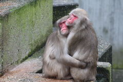 猴子夫妇 免版税库存图片