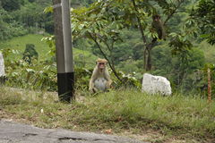 猴子女性 免版税库存照片