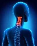 子宫颈脊椎解剖学 库存照片