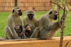 猴子家庭在南非 免版税图库摄影