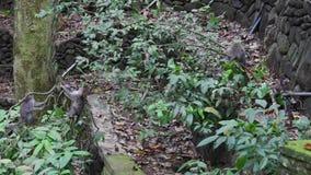 猴子家庭在印度尼西亚的热带森林里爬上藤本植物 影视素材