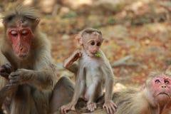 猴子家庭 免版税库存图片