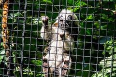 猴子小猿在动物园里 库存照片