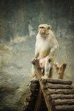 猴子开会 库存图片